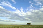 Acacia tree. Serengeti National Park. Tanzania