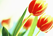 Botany, Close up, Close-up, Closeup, Color, Colour, Delicate, Detail, Details, Flower, Flowers, Horizontal, Horticulture, Indoor, Indoors, Inside, Interior, Nature, Plant, Plants, Red, Special effects, Tulip, Tulipa, Tulips, Yellow, B75-287177, agefotost