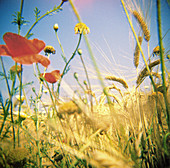 Botany, Color, Colour, Country, Countryside, Daytime, Detail, Details, Ear, Ears, Exterior, Flower, Flowers, Grass, Grasses, Grassland, Grasslands, Horticulture, Meadow, Meadows, Motion, Movement, Moving, Nature, Outdoor, Outdoors, Outside, Plant, Plants