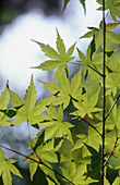 Maple tree (Acer sp.) leaves
