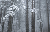 Aussen, Außen, Baum, Bäume, Baumstamm, Baumstämme, Dicht, Farbe, Horizontal, Jahreszeit, Jahreszeiten, Natur, Pflanze, Pflanzen, Schnee, Stamm, Stämme, Tageszeit, Verschneit, Wald, Wälder, Winter, B20-222901, agefotostock