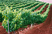 Chardonnay vines. Navarre. Spain