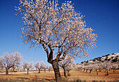 Almond trees near Cúllar. Granada province, Spain