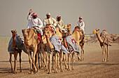 Camels under training on the racing bane at Shahaniyah. Qatar
