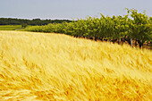 Farmland and viniculture near Cognac with cornfield and vineyard, Charente, dept Charente, France, Europe