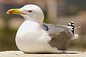 Animal, Animals, Aquatic bird, Aquatic birds, Bird, Birds, Close up, Close-up, Closeup, Color, Colour, Daytime, Detail, Details, Exterior, Fauna, Gull, Gulls, Larus occidentalis, Marine bird, Marine birds, Nature, One, One animal, Ornithology, Outdoor, O