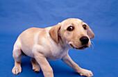 Allein, Alleine, Angst, Blick, Blick Kamera, Blicke, Ein Tier, Eins, Einzeln, einzig, Farbe, Haustier, Haustiere, Horizontal, Hund, Hunde, Innen, Junge Hunde, Junger Hund, Jungtier, Jungtiere, Misstrauen, Misstrauisch, Nahaufnahme, Nahaufnahmen, Portrait
