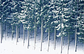 Canopy, Color, Colour, Covered, Daytime, Detail, Details, Exterior, Forest, Forests, Horizontal, Lined up, Lined-up, Lining up, Lining-up, Nature, Outdoor, Outdoors, Outside, Perennial, Scenic, Scenics, Season, Seasons, Snow, Snow-covered, Snowcovered, S