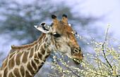 Southern Giraffe (Giraffa camelopardalis giraffa) feeding of water acacia. Etosha National Park. Namibia