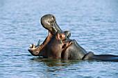 Hippopotamus (Hippopotamus amphibius) yawning. Kruger National Park, South Africa