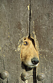 A hole in a wooden door of a farmhouse in the Alpujarras region is used by the housedogs as a look-out. Province of Granada, Andalucía, Spain.