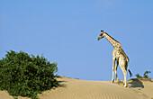 Southern Giraffe (Giraffa camelopardalis giraffa); climbs a small sand dune at the bank of the Hoanib riverbed in order to feed on the mustard bush (Salvadora persica) on the left. Damaraland, Namibia.