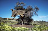 Huge communal nest of Sociable Weavers (Philetairus socius) in a camelthorn tree (Acacia erioloba); during the rainy season with dense carpets of annual Tribulus terrestris flowers. Kalahari Desert, Kgalagadi Transfrontier Park, South Africa.