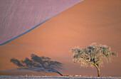 Camelthorn tree (Acacia erioloba) and sand dune in the Namib Desert. Namib-Naukluft Park, Namibia.