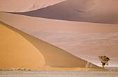 Camelthorn tree (Acacia erioloba) and sand dunes in the Namib Desert. Namib-Naukluft Park, Namibia.