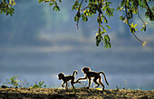 Yellow Baboon (Papio cynocephalus); 2 playful young in the early morning. South Luangwa National Park, Zambia.