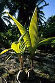 Coconut palm saplings on West Island, Australia