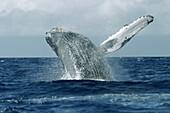 Animal, Animals, Blue, Cetacean, Cetaceans, Coast, Coastal, Color, Colour, Daytime, Exterior, Fauna, Horizontal, Marine life, Marine mammal, Marine mammals, Motion, Movement, Moving, Nature, One, Outdoor, Outdoors, Outside, Power, Sea, Sea mammal, Sea mam