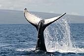 Animal, Animals, Blue, Cetacean, Cetaceans, Coast, Coastal, Color, Colour, Daytime, Exterior, Fauna, Horizontal, Marine life, Marine mammal, Marine mammals, Motion, Movement, Moving, Nature, One, Outdoor, Outdoors, Outside, Power, Sea, Sea mammal, Sea ma