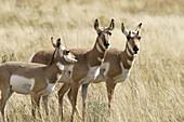 Three female Pronghorn Antelope (Antilocapra americanus) in Yellowstone National Park, Wyoming, USA.