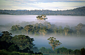 Morning mist in the tall eukalypt forest along the Genoa River, Victoria, Australia