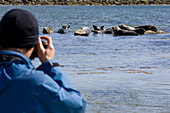 A man taking a photograph of grey seals, Halichoerus grypus, along the coast of the Island Mousa, Shetland Islands, Scotland, Great Britain