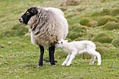 A sheep with a newborn lamb, Shetland Islands, Scotland, Great Britain
