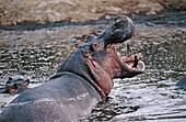 Hippopotamus (Hippopotamus amphibius). Serengeti National Park. Tanzania