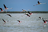 Greater flamingos (Phoenicopterus ruber) taking off. Doñana National Park. Spain