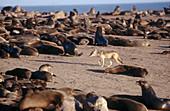 Jackal (Canis mesomelas) walking between afro-australian fur seals (Arctocephalus pusillus). Namib desert. Namibia