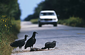 Black vulture (Coragyps atratus) eating roadkill armadillo. Yucatan. Mexico