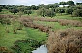 Oaks. Monfragüe Natural Park. Cáceres province. Extremadura. Spain.