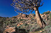 Quiver tree (Aloe dichotoma). Goegap Nature Reserve. South Africa