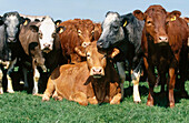 Limousin and Belgium Blue Beef cattle