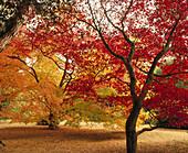 Red Japanese Maples (Acer palmatum). Westonbirt Arboretum. Cotwolds, UK