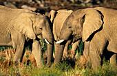 African Elephants (Loxodonta africana) in Kenya