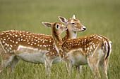 Fallow Deer (Dama dama).