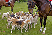 Foxhounds From The Craven Hunt