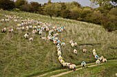 Ewes are mated in October. Each Ram has a dye bag strapped to his underside. When mating occurs the Ram leaves his mark. Mated Ewes at Tupping Time Ivinghoe Hills Bucks UK October