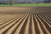 Planted potato field. Norfolk. April