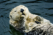 Sea Otter (Enhydra lutris) Yawning. Captive.