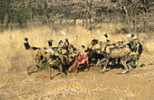 African Wild Dog (Lycaon pictus) killing a prey. Namibia