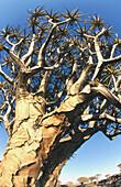 Quiver tree (Aloe dichotoma). Namibia