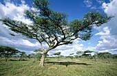 Acacias. Serengeti National Park, Tanzania