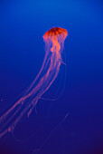 Jellyfish (Chrysaora melanaster)