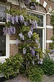 Violet wisteria (Wisteria floribunda), leguminosae.