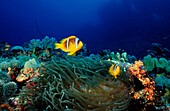 Two Twobar anemone fishes, Amphiprion bicinctus, Sudan, Africa, Red Sea