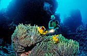 Twobar anemone fish and scuba diver, Amphiprion bicinctus, Sudan, Africa, Red Sea