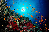 Harem Flag Basslet and coral reef, Pseudanthias squamipinnis, Egypt, Red Sea, St. John´s Reef