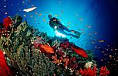 Coral grouper and scuba diver, Cephalopholis miniata, Egypt, Red Sea, St. John´s Reef